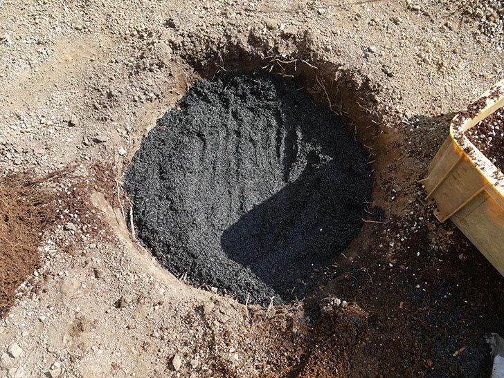 オリビア・ローズ・オースチン(半ツルバラ)を地植えにした。2020年-14.jpg