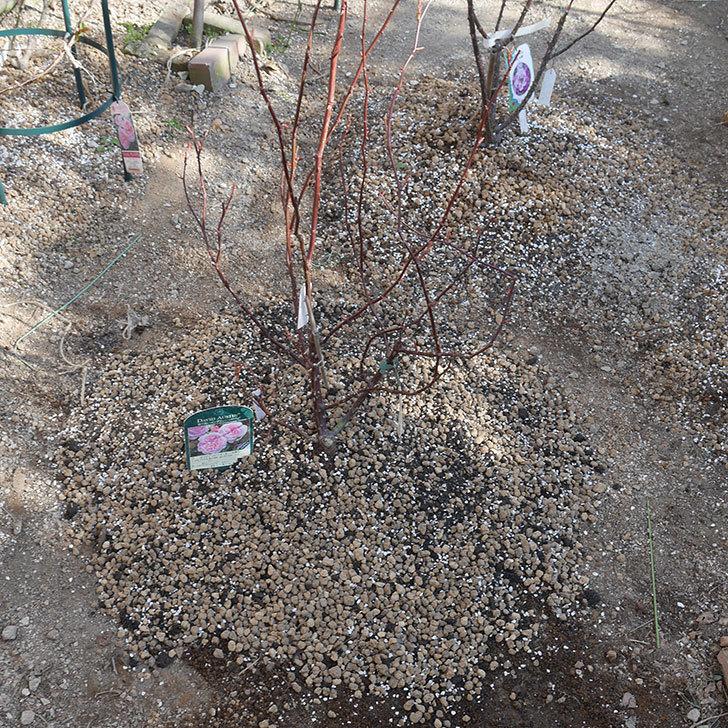 オリビア・ローズ・オースチン(半ツルバラ)を地植えにした。2020年-18.jpg