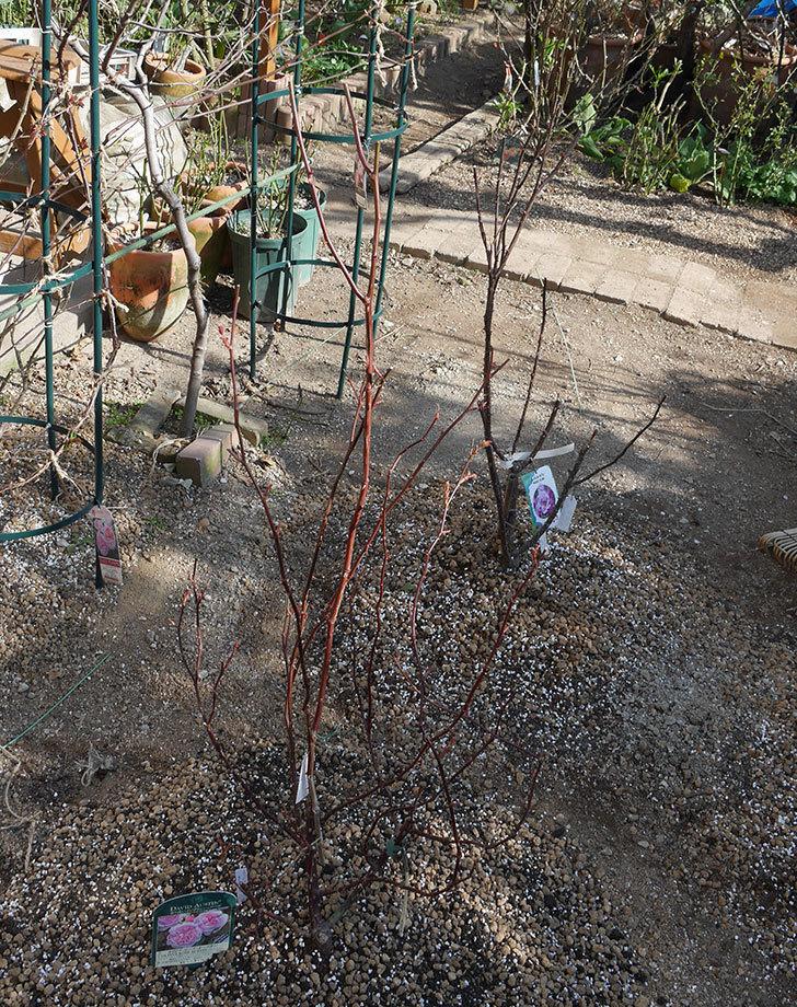 オリビア・ローズ・オースチン(半ツルバラ)を地植えにした。2020年-19.jpg