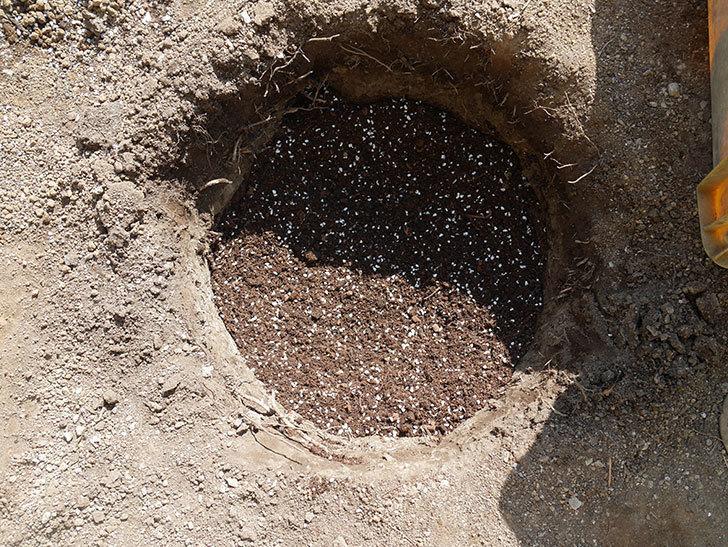 オリビア・ローズ・オースチン(半ツルバラ)を地植えにした。2020年-7.jpg