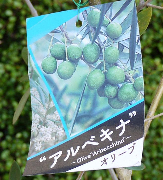 オリーブ-アルベキナがケイヨーデイツーで1,500円だったので買って来た5.jpg