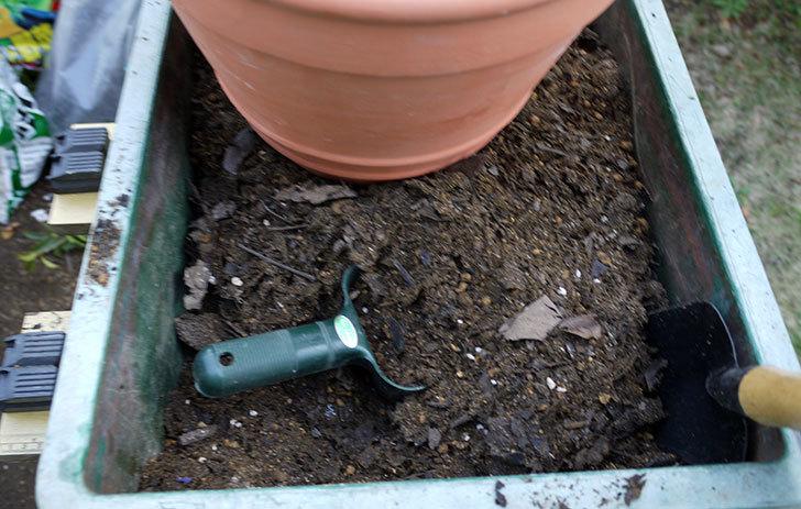 オリーブ-アルベキナを鉢に植えた3.jpg