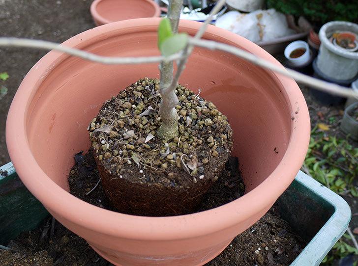 オリーブ-アルベキナを鉢に植えた4.jpg