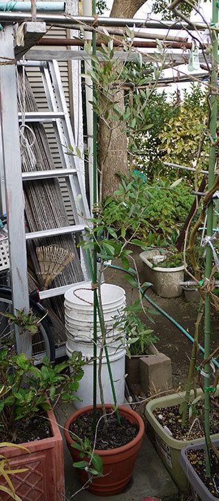 オリーブ-アルベキナを鉢に植えた6.jpg