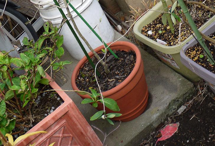 オリーブ-アルベキナを鉢に植えた7.jpg