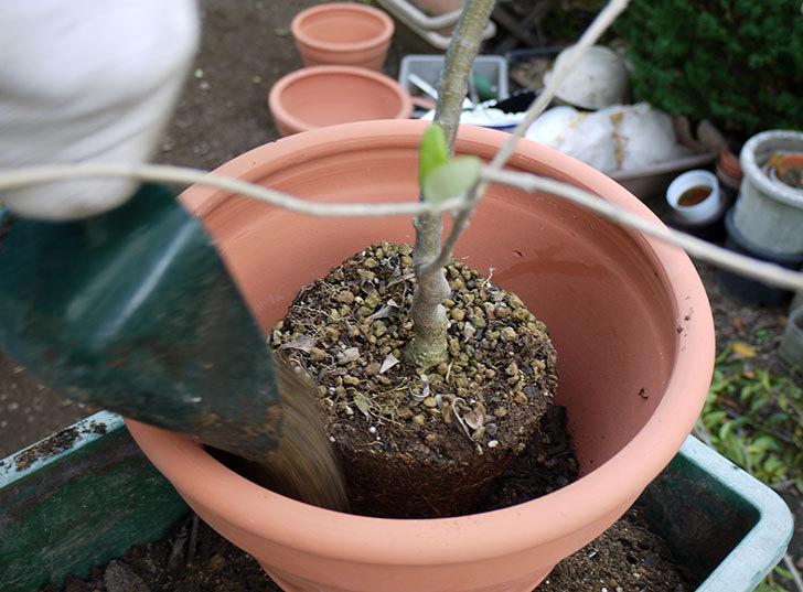オリーブ-アルベキナを鉢に植えた1.jpg