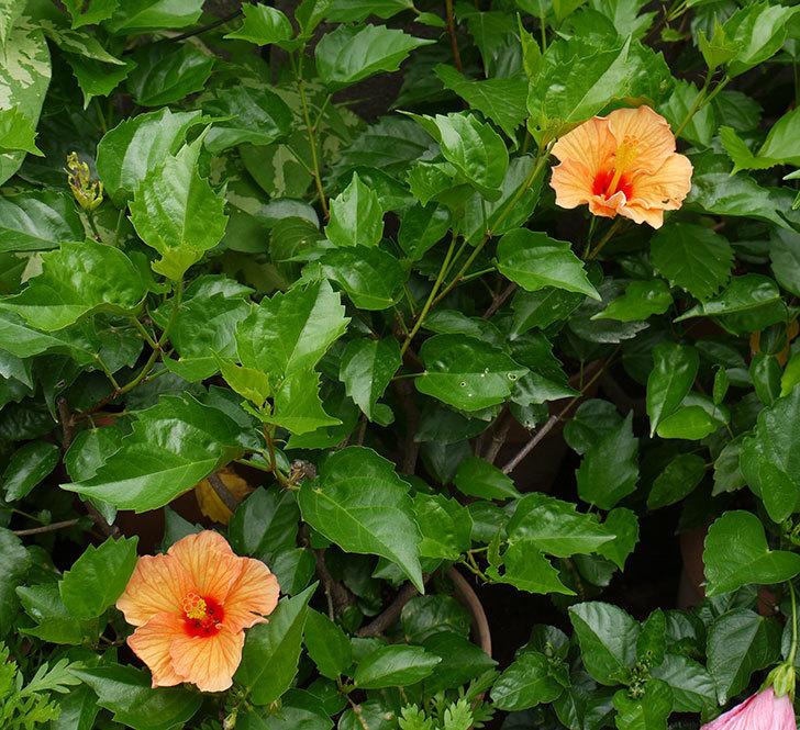 オレンジのハイビスカスが2個咲いた。2016年-2.jpg
