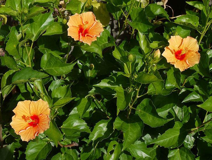 オレンジのハイビスカスが3個咲いた。2016年-1.jpg