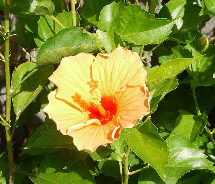 オレンジのハイビスカスが3個咲いた。2016年-2.jpg