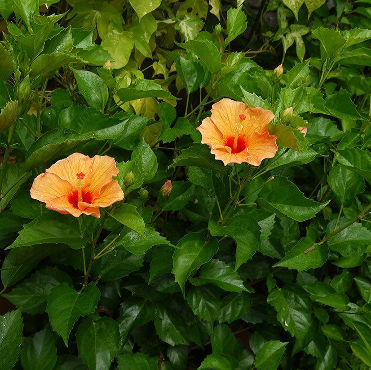 オレンジのハイビスカスがまた咲きだした。2016年-4.jpg