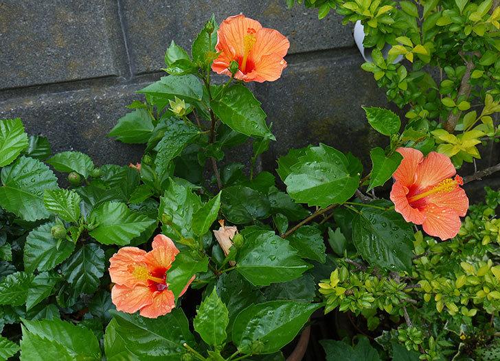 オレンジのハイビスカスが同時に咲いた1.jpg