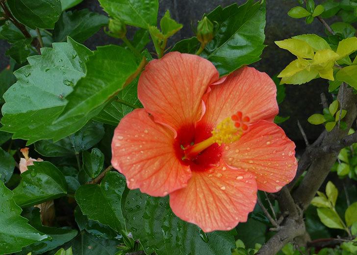 オレンジのハイビスカスが同時に咲いた2.jpg