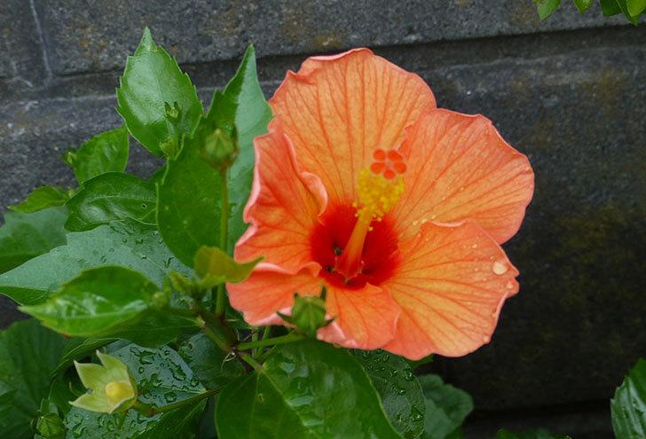 オレンジのハイビスカスが同時に咲いた3.jpg