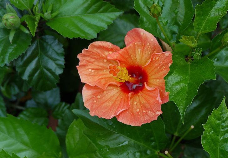 オレンジのハイビスカスが同時に咲いた4.jpg