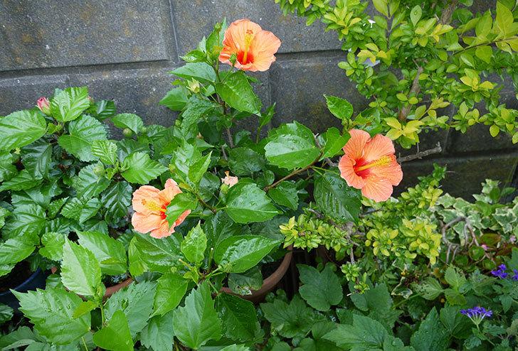 オレンジのハイビスカスが同時に咲いた5.jpg