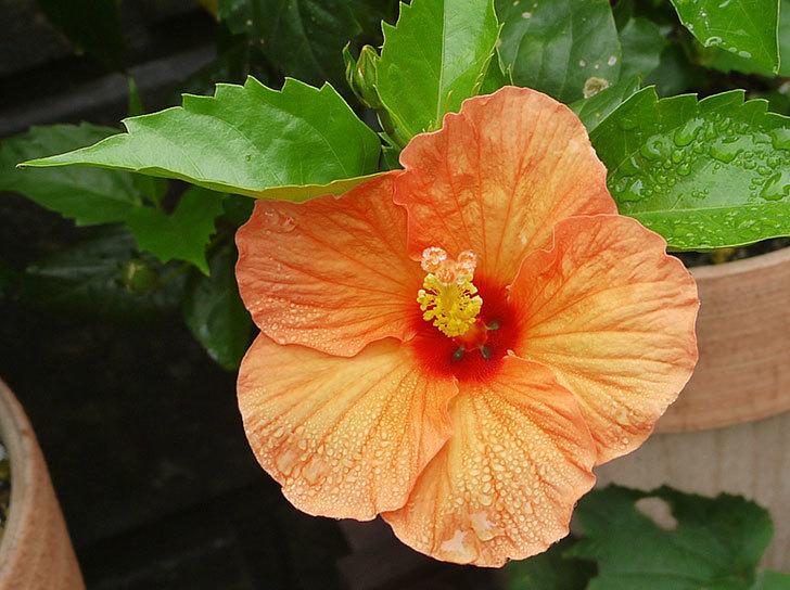 オレンジのハイビスカスが咲いた。2015年-2.jpg
