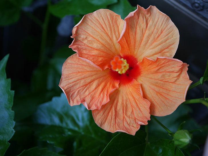 オレンジのハイビスカスに今年最初の花が咲いた。2020年-001.jpg