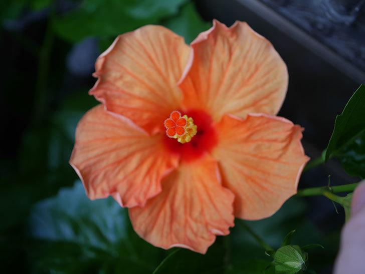 オレンジのハイビスカスに今年最初の花が咲いた。2020年-003.jpg