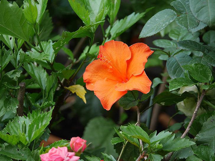 オレンジのハイビスカスの花が2個咲いた。2020年-001.jpg