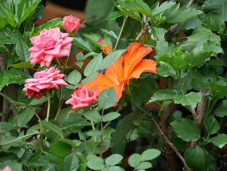 オレンジのハイビスカスの花が2個咲いた。2020年-003.jpg
