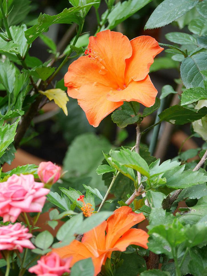 オレンジのハイビスカスの花が2個咲いた。2020年-004.jpg