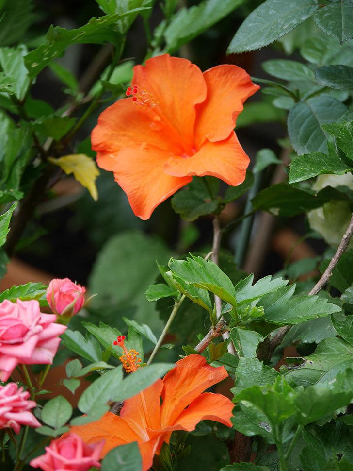 オレンジのハイビスカスの花が2個咲いた。2020年-005.jpg