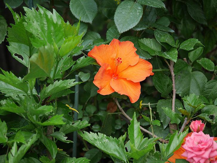 オレンジのハイビスカスの花が2個咲いた。2020年-006.jpg