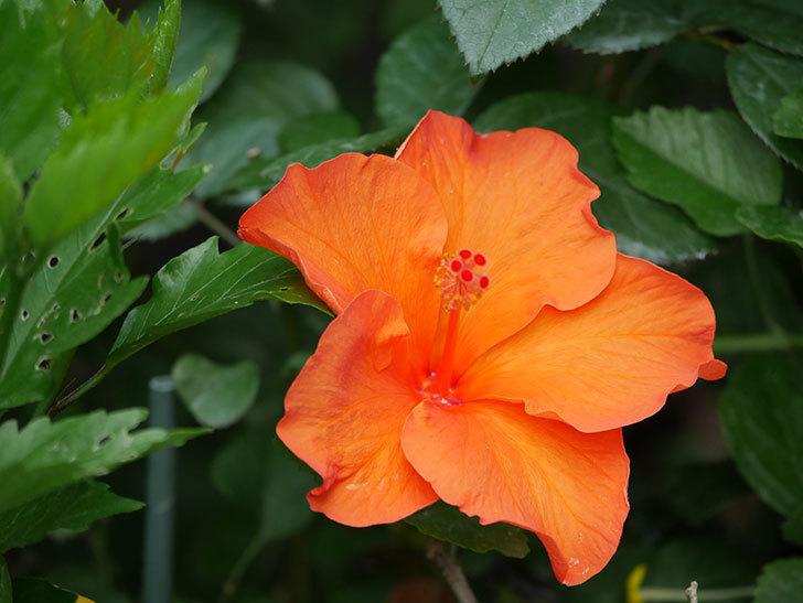 オレンジのハイビスカスの花が2個咲いた。2020年-007.jpg