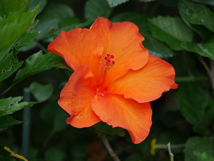 オレンジのハイビスカスの花が2個咲いた。2020年-008.jpg