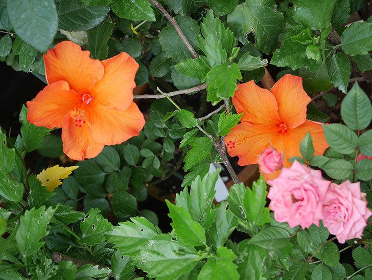 オレンジのハイビスカスの花が2個咲いた。2020年-009.jpg