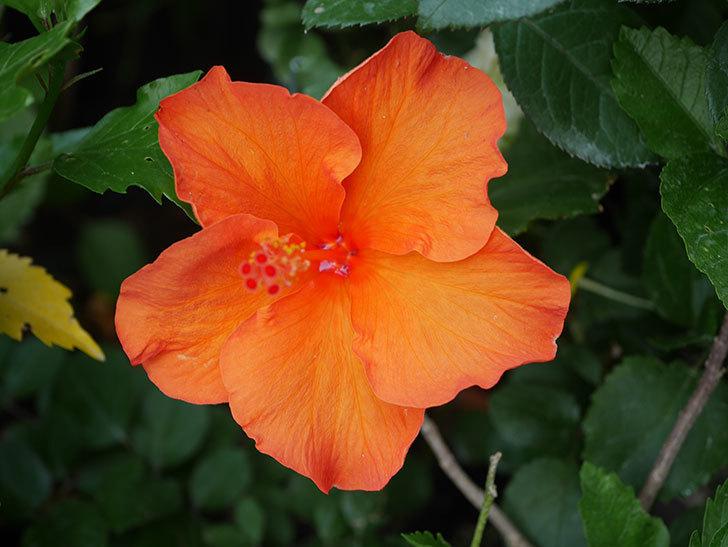オレンジのハイビスカスの花が2個咲いた。2020年-010.jpg