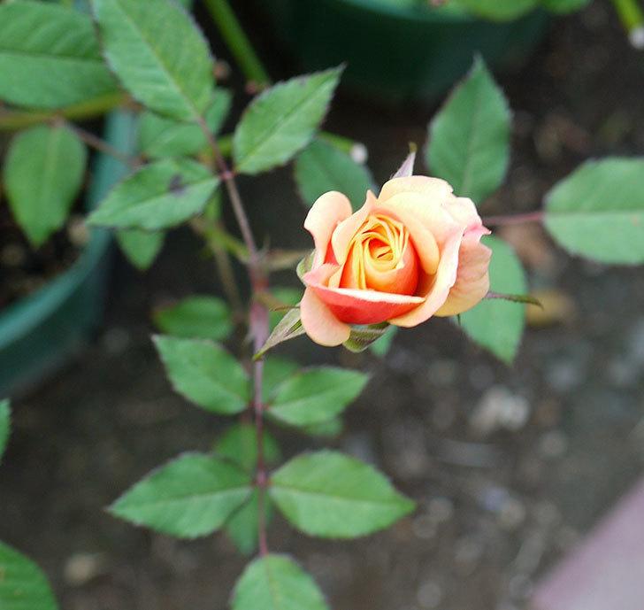 オレンジのミニバラの何時もの違った感じで咲いた。2016年-2.jpg