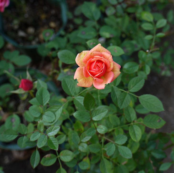 オレンジのミニバラの何時もの違った感じで咲いた。2016年-3.jpg