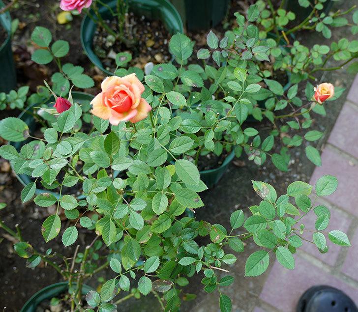 オレンジのミニバラの何時もの違った感じで咲いた。2016年-4.jpg