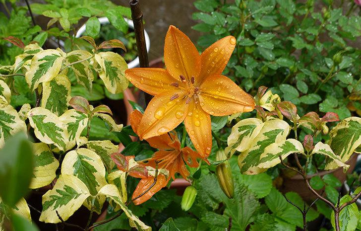 オレンジのユリが咲いた1.jpg
