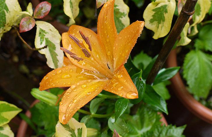 オレンジのユリが咲いた3.jpg