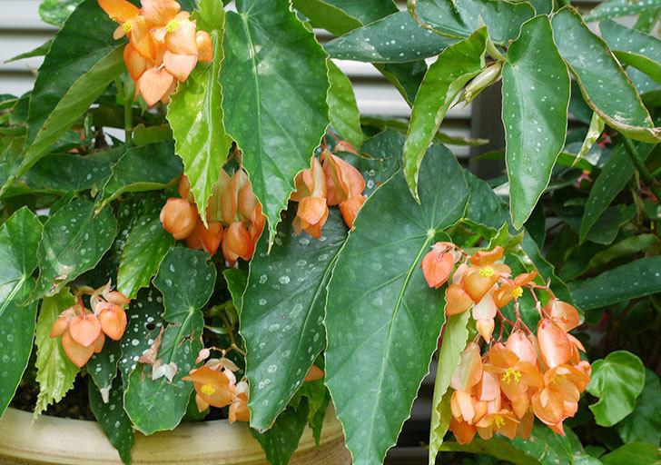 オレンジの木立ベゴニアが咲いた。2015年-1.jpg