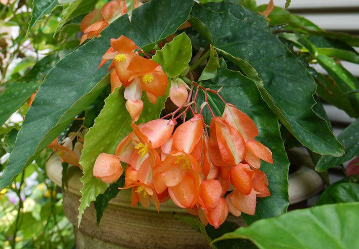 オレンジの木立ベゴニアが咲いた。2015年-3.jpg