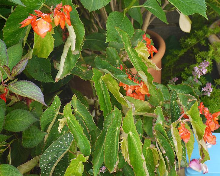 オレンジの木立ベゴニアが咲いた。2016年-1.jpg
