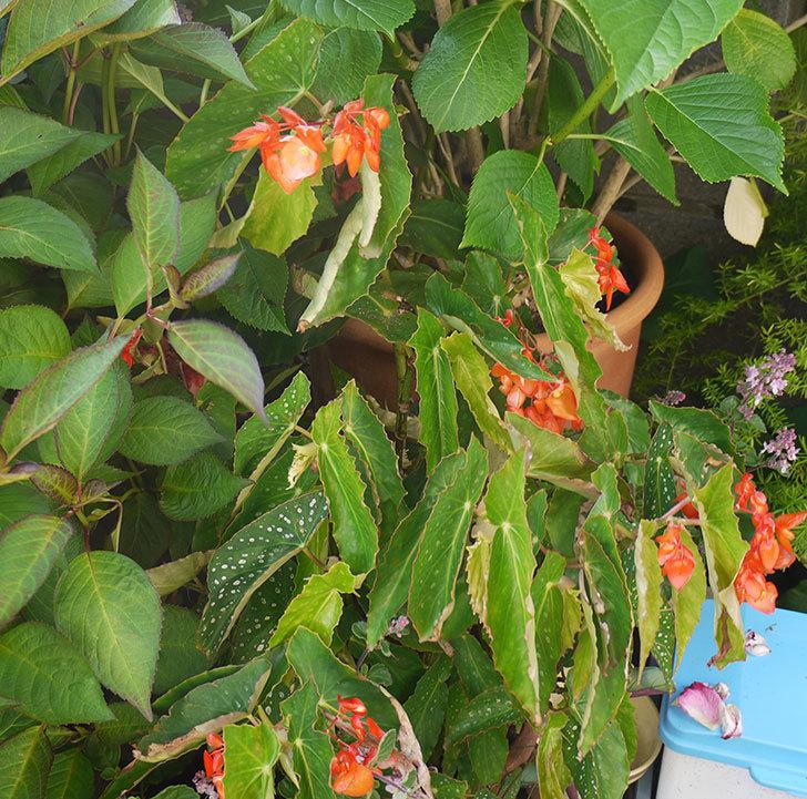 オレンジの木立ベゴニアが咲いた。2016年-2.jpg