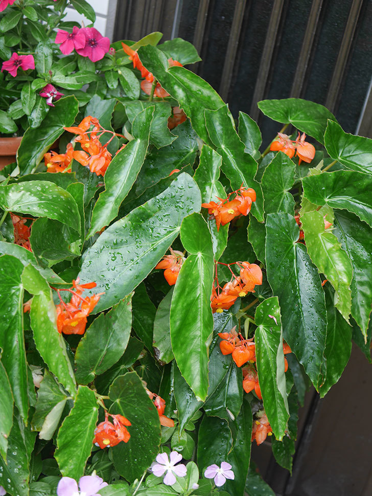 オレンジの木立ベゴニアの花が咲いた。2020年-002.jpg
