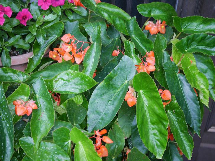 オレンジの木立ベゴニアの花が咲いた。2020年-008.jpg
