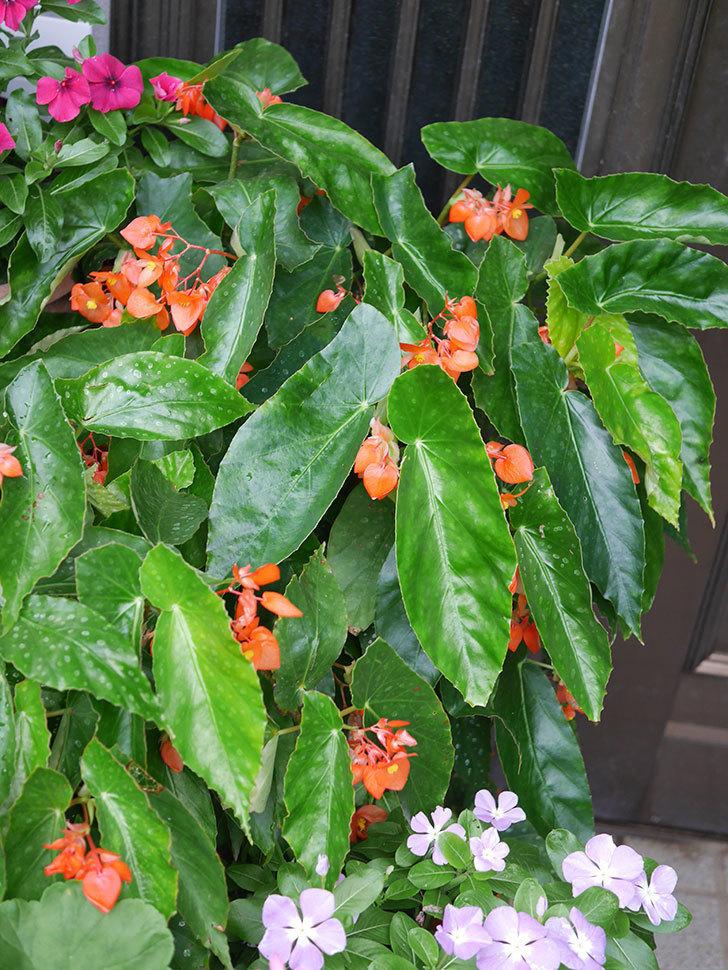 オレンジの木立ベゴニアの花が咲いた。2020年-009.jpg