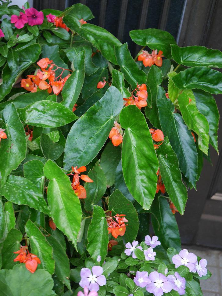 オレンジの木立ベゴニアの花が咲いた。2020年-010.jpg