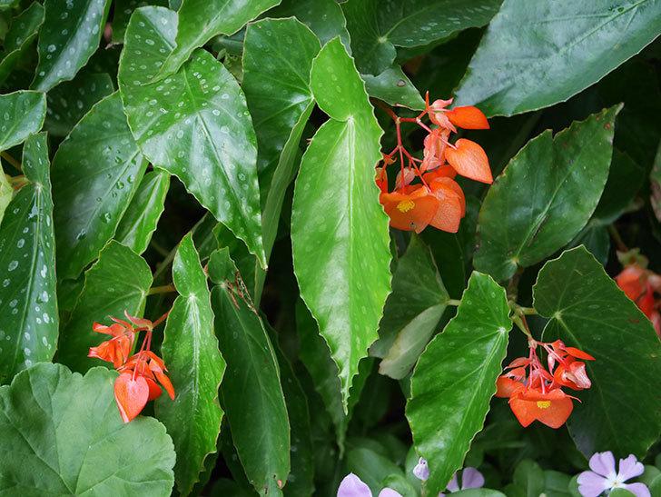 オレンジの木立ベゴニアの花が咲いた。2020年-012.jpg
