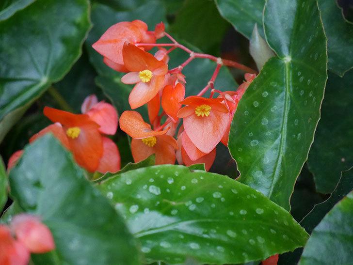 オレンジの木立ベゴニアの花が咲いた。2020年-017.jpg