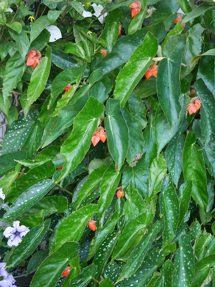 オレンジの木立ベゴニアの花が咲きだした。2020年-001.jpg