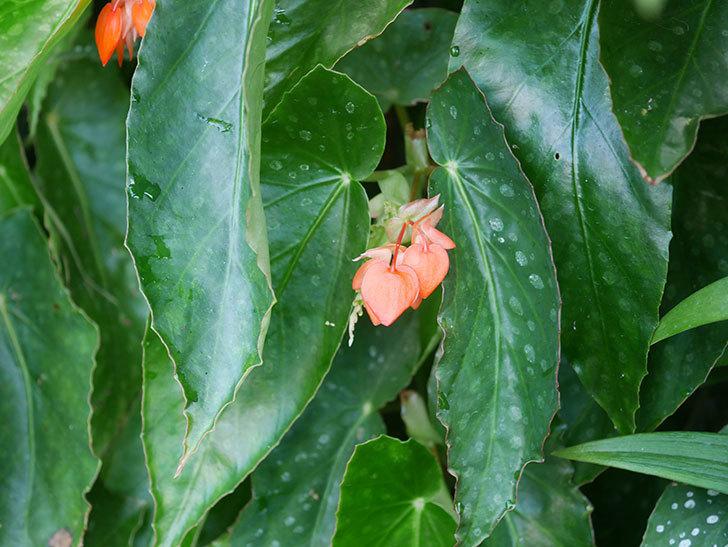 オレンジの木立ベゴニアの花が咲きだした。2020年-002.jpg