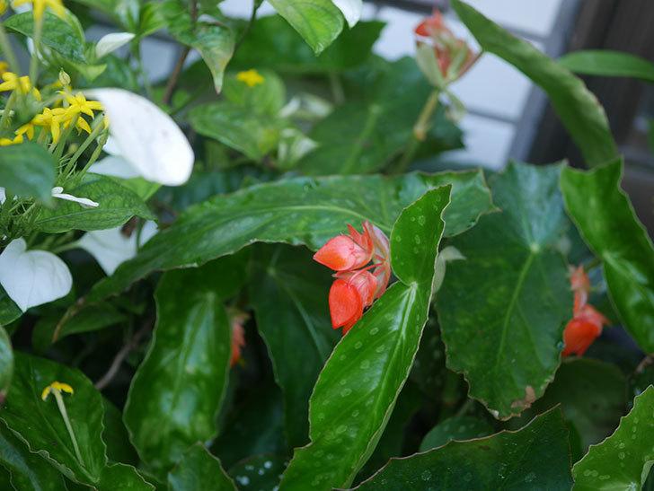 オレンジの木立ベゴニアの花が咲きだした。2020年-004.jpg