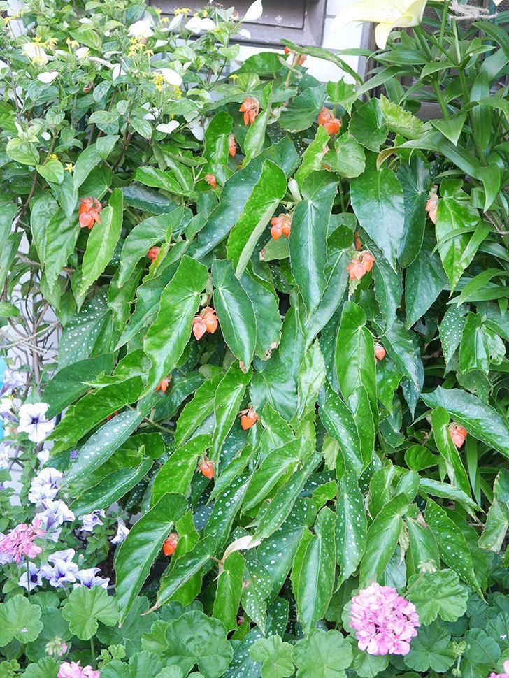 オレンジの木立ベゴニアの花が咲きだした。2020年-005.jpg